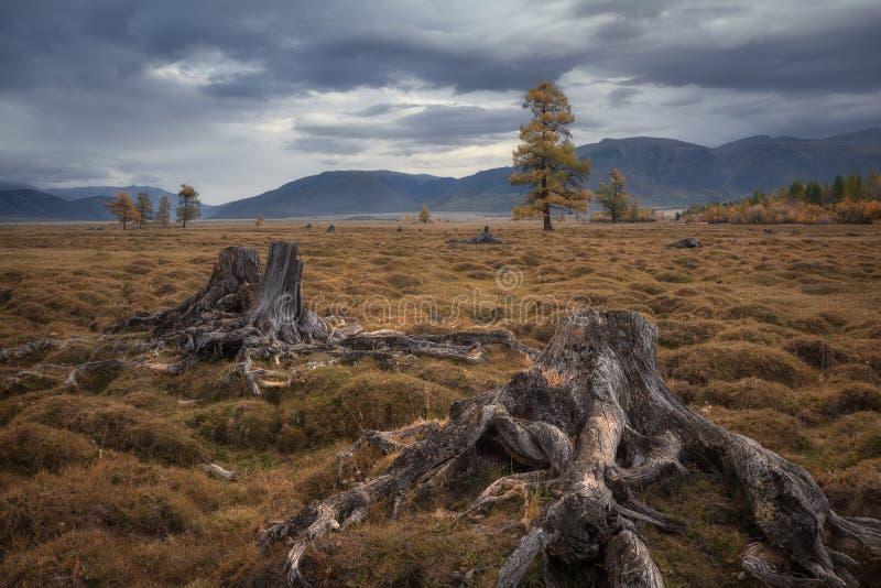 Gamla stubbar på en bakgrund av ett dystert höstlandskap fotografering för bildbyråer