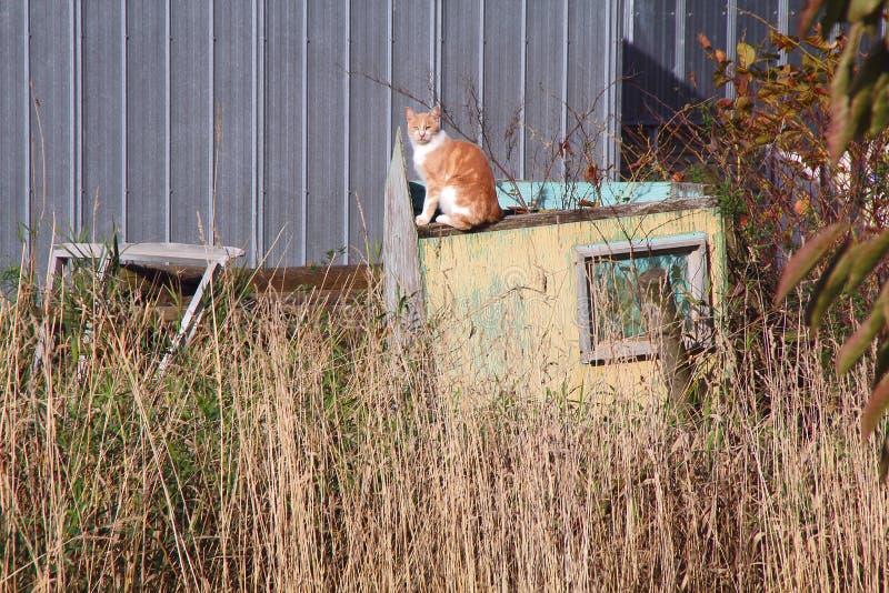 Gamla Tabby Cat royaltyfri foto