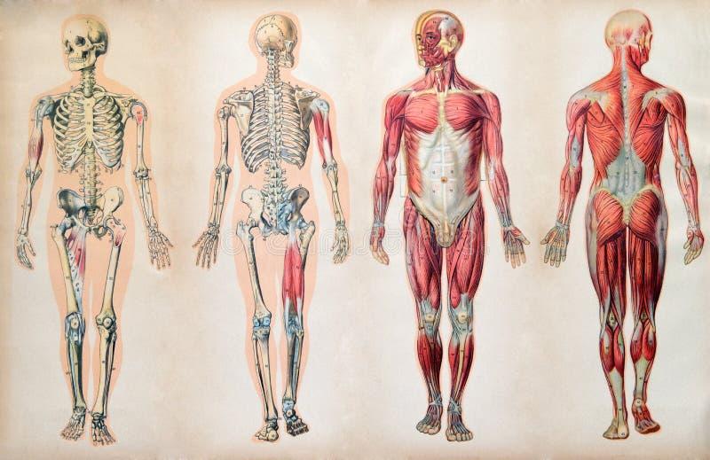 Gamla tappninganatomidiagram av människokroppen royaltyfri fotografi