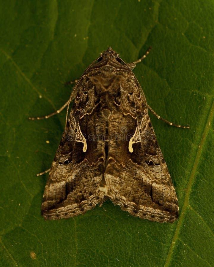 Gammafly Autographa gamma. Silver Y Moth Gammafly Autographa gamma on a green leaf stock photography