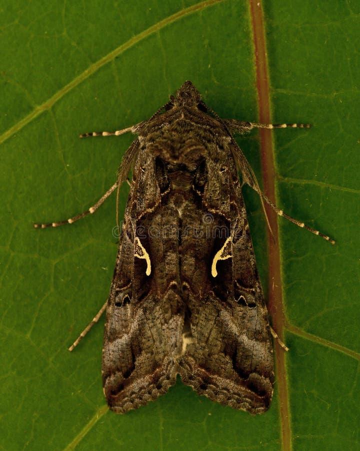 Gammafly Autographa gamma. Silver Y Moth Gammafly Autographa gamma on a green leaf royalty free stock photos