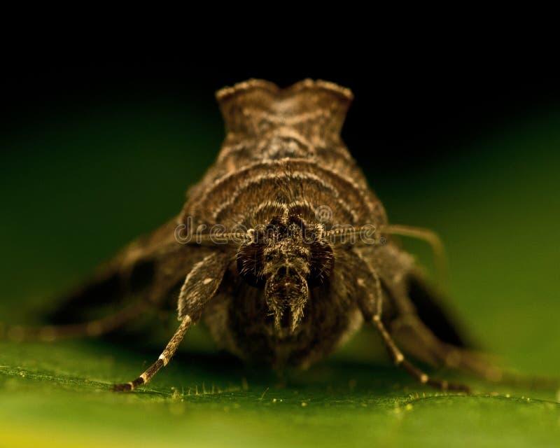 Gammafly Autographa gamma. Silver Y Moth Gammafly Autographa gamma on a green leaf stock photo