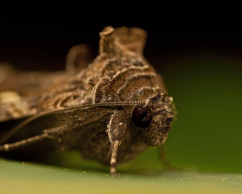 Gammafly Autographa gamma. Silver Y Moth Gammafly Autographa gamma on a green leaf royalty free stock photo
