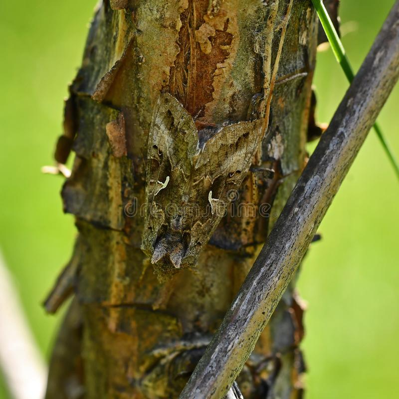 Gammafly Autographa gamma well camouflaged. Silver Y Moth Gammafly Autographa gamma well camouflaged against a strain of older bark stock image