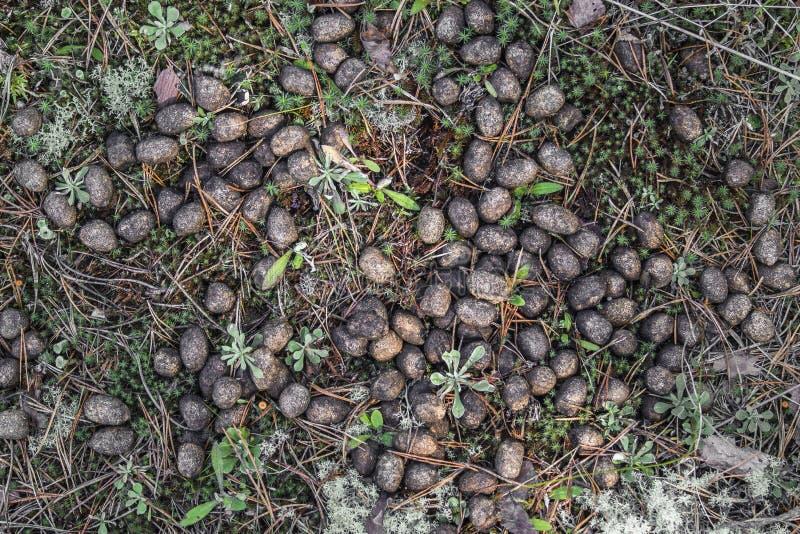 Gammal älgkull i skogen på närbild för torkat gräs Älgavföring, försvinner snabbt, sket royaltyfri foto