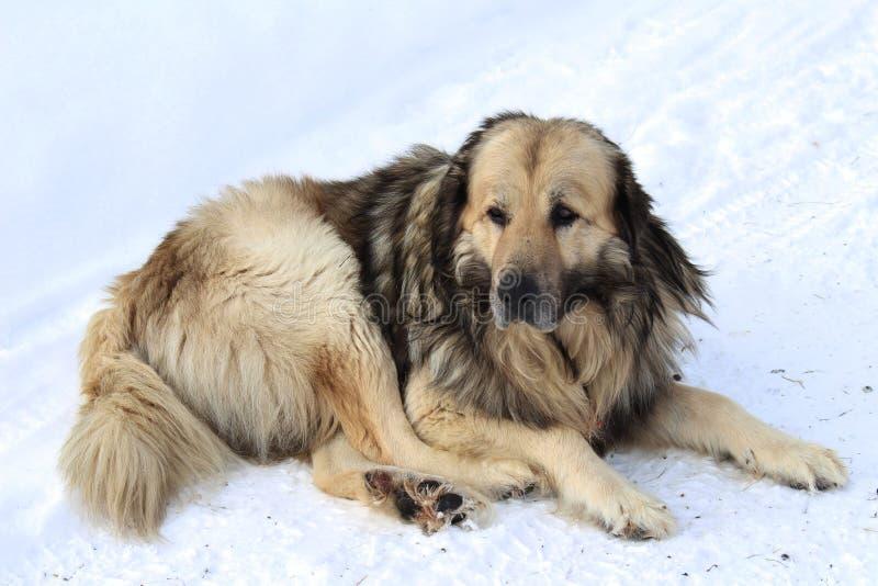 Gammal berghund på snön arkivbilder