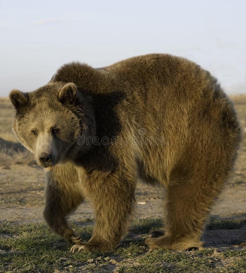 gammal björn arkivfoto