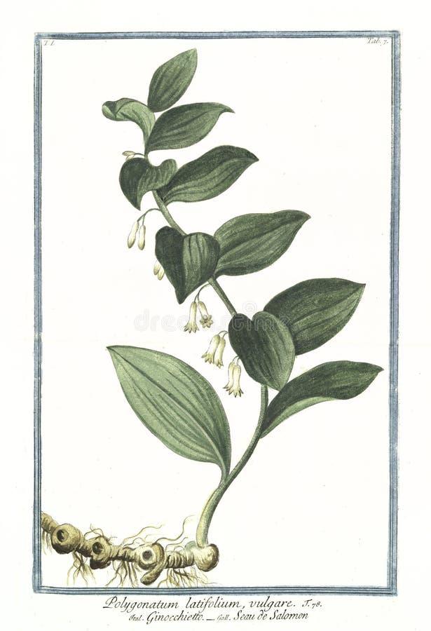 Gammal botanisk illustration av växten för Polygonatumlatifoliumvulgare royaltyfri fotografi