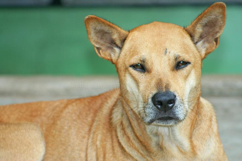 Gammal brun hund royaltyfria bilder