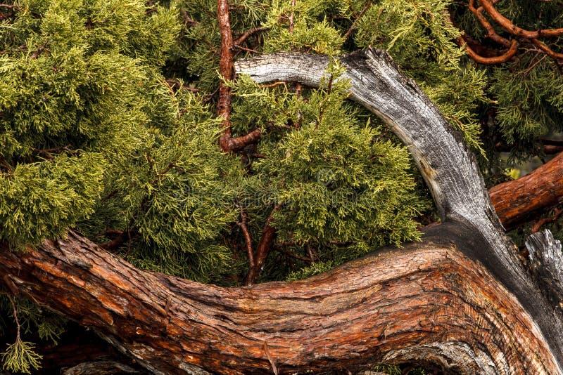 Gammal Cedar Tree i Yosemite N P arkivfoton