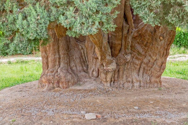 Gammal cederträträdstam royaltyfri bild