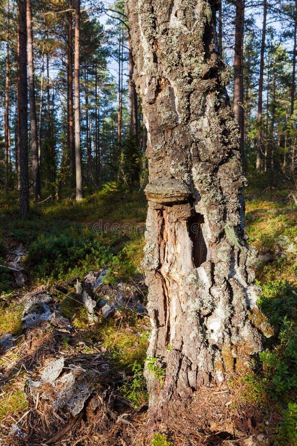 Gammal död björkträdstam i skog royaltyfri bild