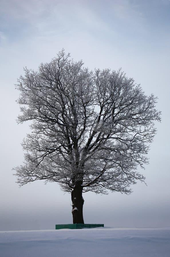 Gammal ek i ett vinterfält royaltyfri fotografi