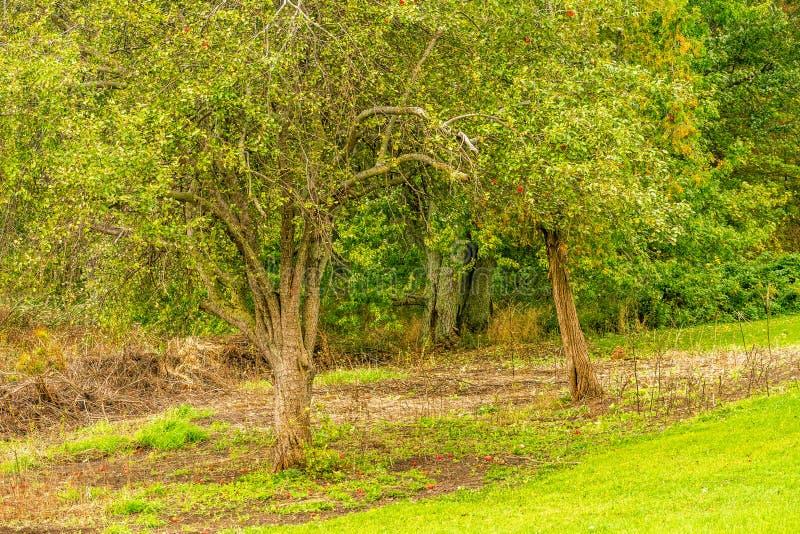 Gammal fruktträdgård för höstäppleträd, med stupad mogen frukt i fält fotografering för bildbyråer