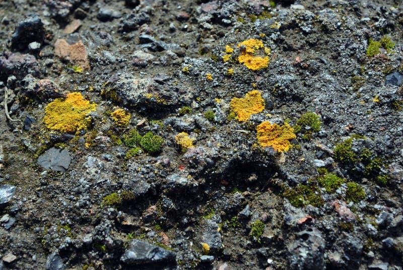 Gammal grå betongvägg med gult och mörkt - grön mossa, grungetexturbakgrund royaltyfri bild