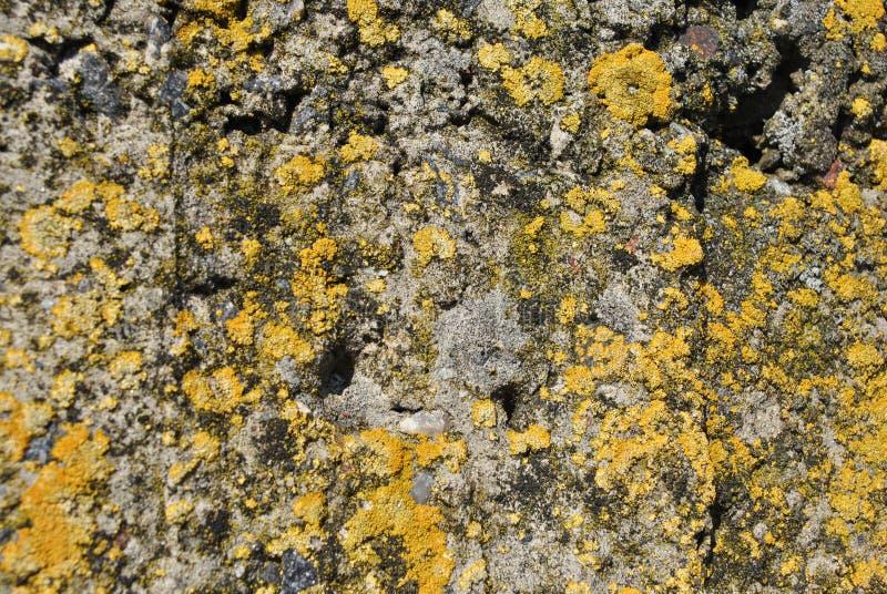 Gammal grå grov texturbetongvägg med gul mossa, grungetexturslut upp detaljbakgrund arkivfoto