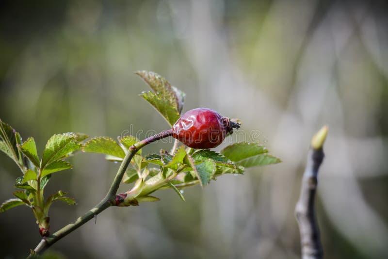 Gammal häckrosfrukt med nya blad mot oskarp bakgrund royaltyfria bilder