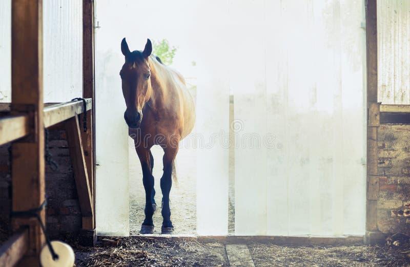 Gammal häst på ingången till stallen med vertikala rullgardiner royaltyfri fotografi