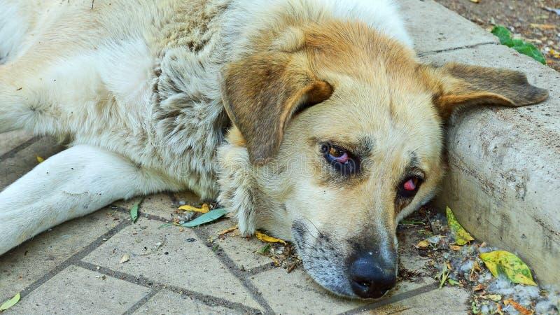 Gammal hemlös hund på trottoaren royaltyfria foton