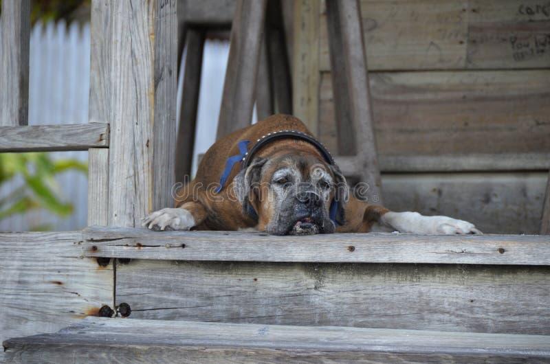 gammal hund arkivbilder
