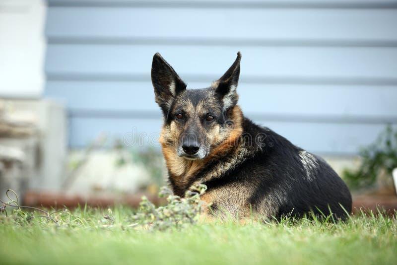 Gammal hund som kopplar av i gräset arkivbild