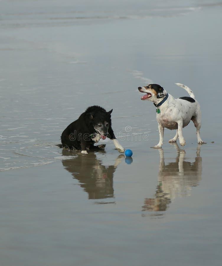Gammal hundkapplöpningreflexion arkivfoton