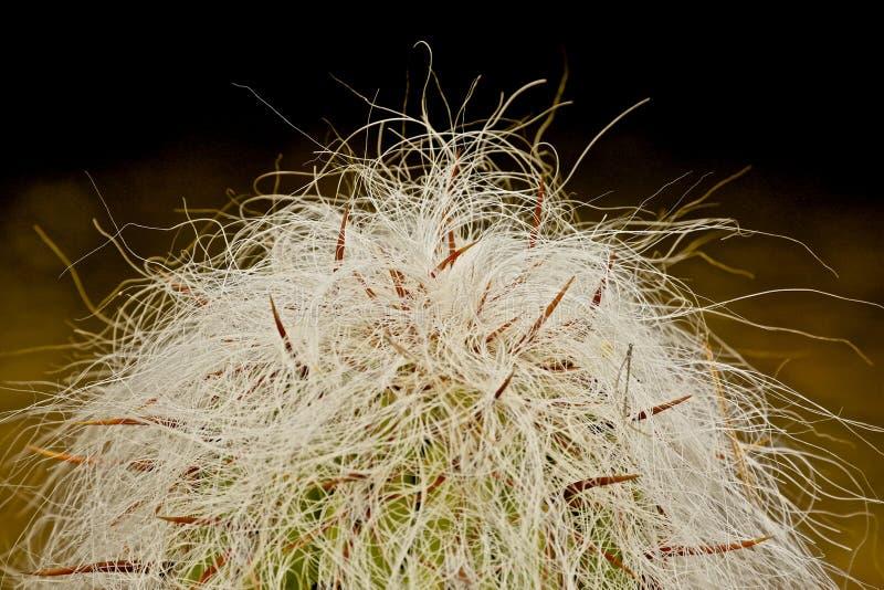 gammal kaktusman arkivfoto