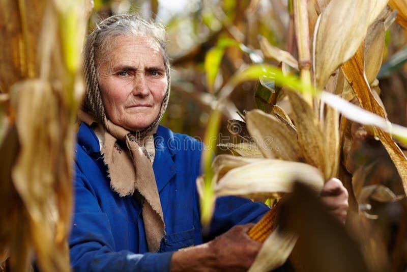 Gammal kvinnlig bonde på havreskörden royaltyfri bild
