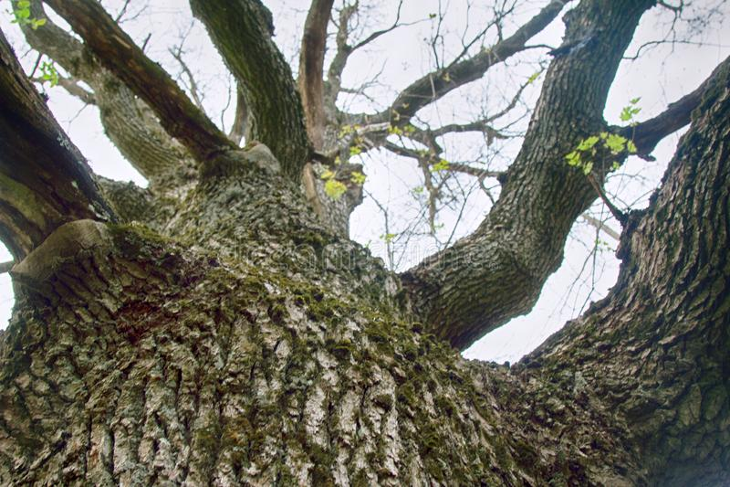gammal oak mycket royaltyfri bild