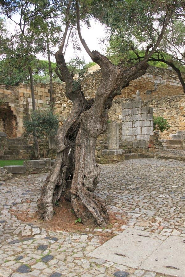 Download Gammal oliv arkivfoto. Bild av gammalt, natur, utomhus - 37349624