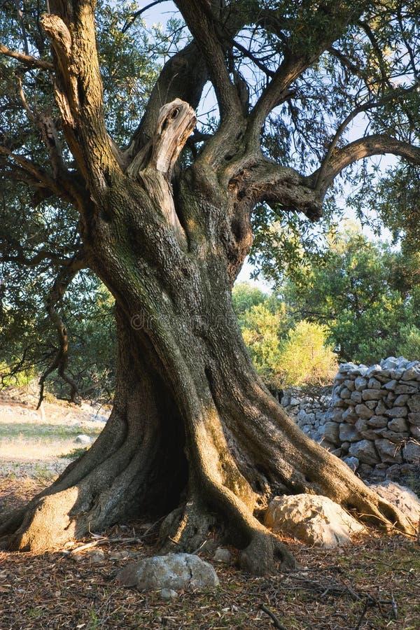 gammal olive tree royaltyfri bild