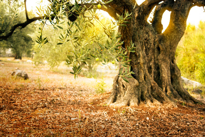 Gammal olive tree arkivfoton