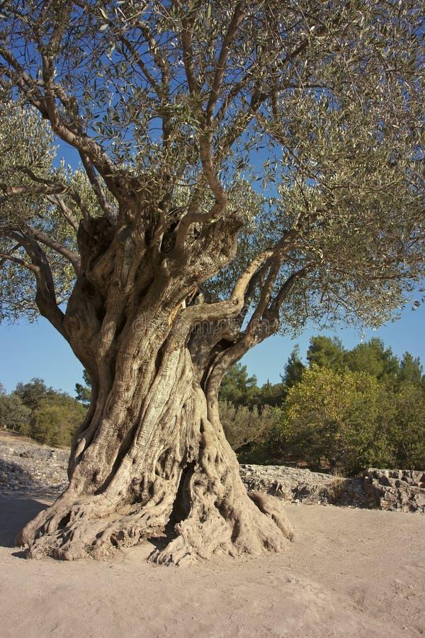 gammal olive tree arkivbilder