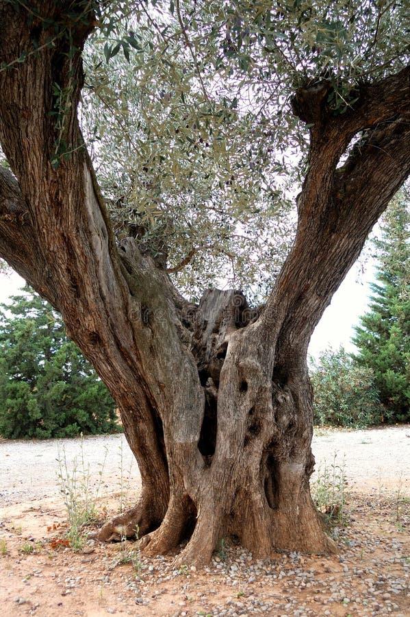 gammal olive tree för detalj royaltyfri bild