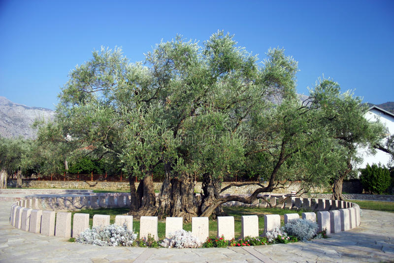 gammal olive tree mycket royaltyfri bild