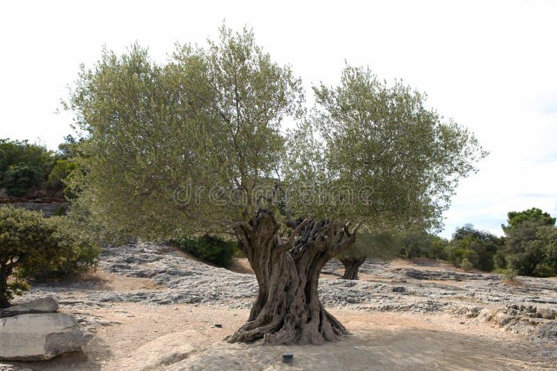 Gammal olivträd fotografering för bildbyråer