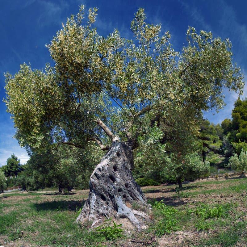 Gammal olivträd arkivfoto