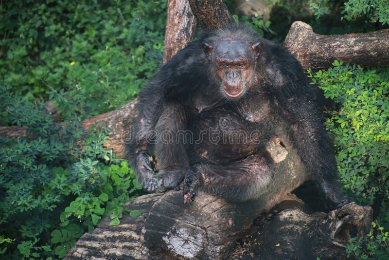 Gammal orangutang royaltyfria bilder