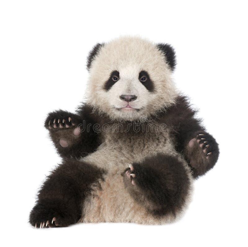 gammal panda för 6 jätte- melanoleucmånader för ailuropoda arkivbilder