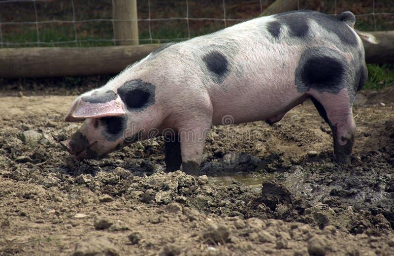 gammal pigfläck för gloucestershire royaltyfri foto