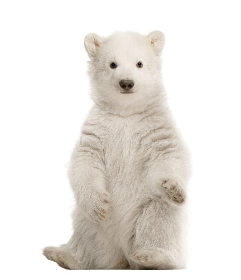 gammal polar ursus för 3 månader för björngröngölingmaritimus arkivfoton