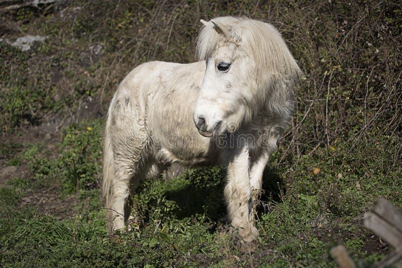 Gammal ponny arkivbilder
