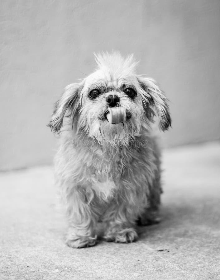 Gammal räddningsaktionhund med en Mohawk royaltyfria bilder