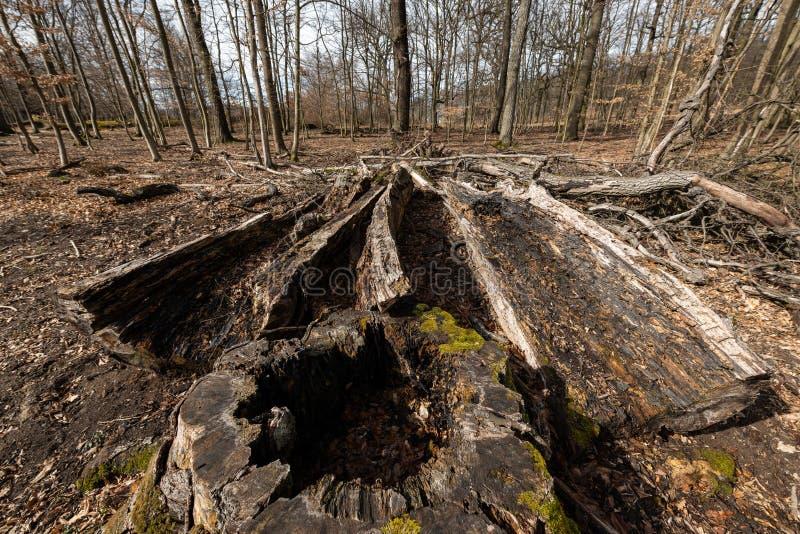 Gammal rutten trädstam i en lövskog i tidig vår royaltyfria bilder