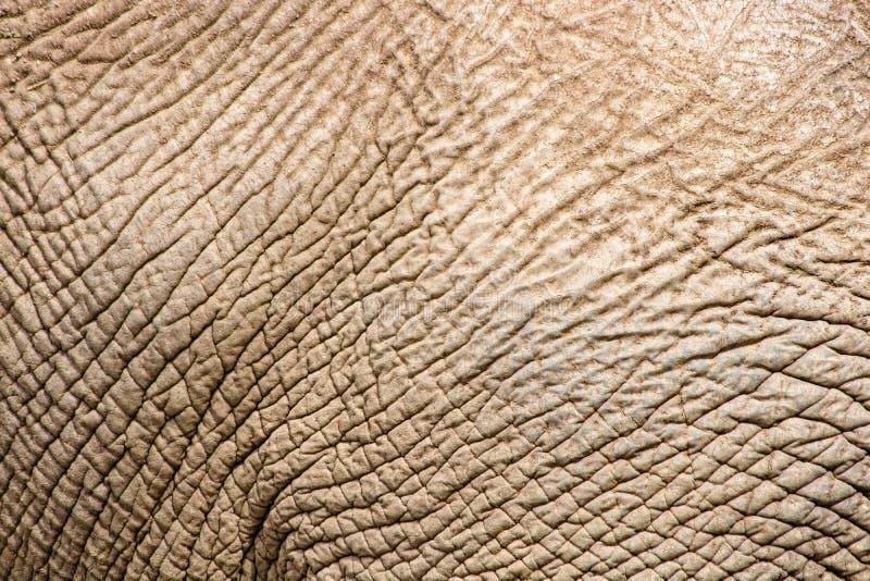 Gammal rynkig torr elefanthud, closeuptextur, hotade arter som åldras det tuffa skinnet arkivbilder