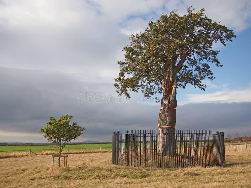 gammal saplingtree för oak arkivbilder