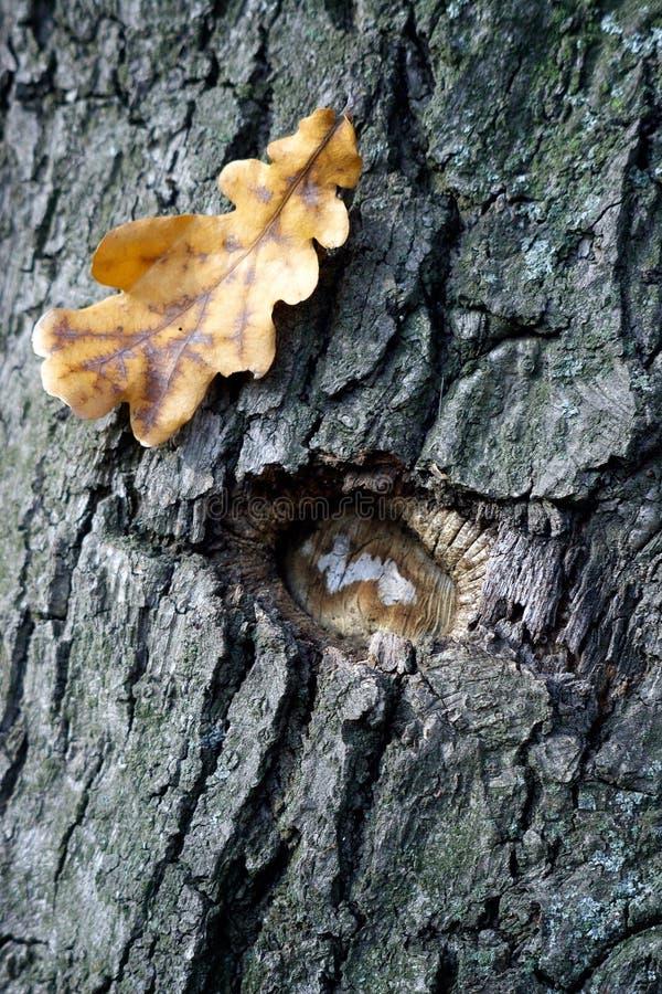 gammal sight för oak royaltyfri foto
