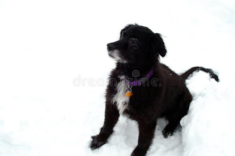 gammal sittande snow för hund royaltyfri fotografi