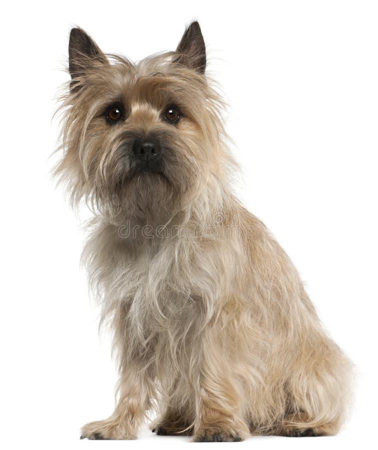 gammal sittande terrier för 18 rösemånader royaltyfria bilder