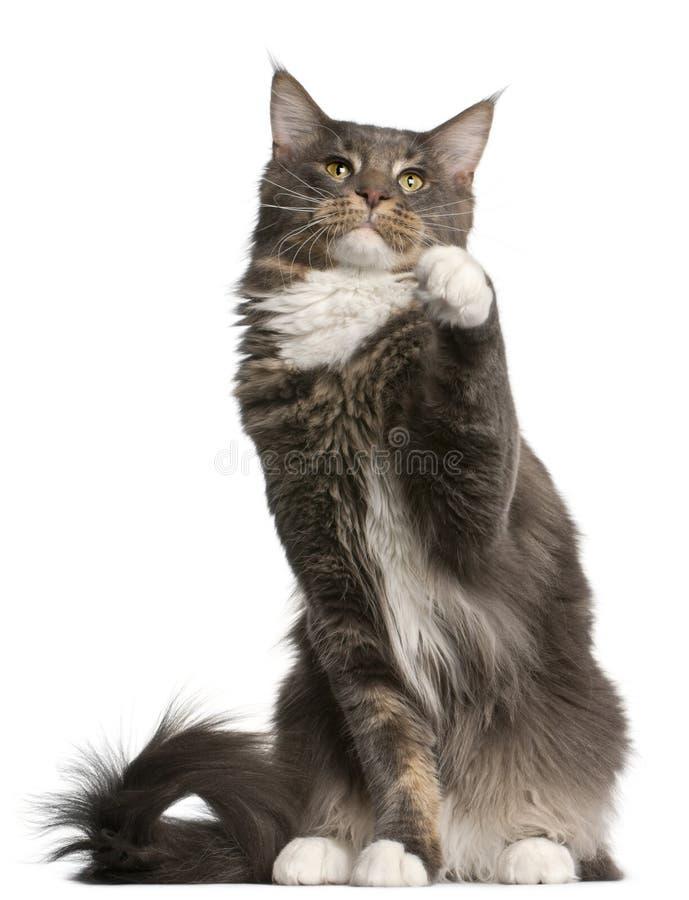 gammal sitting för 11 kattcoonmaine månader arkivfoto